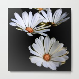 White African Daisies Isolated on Black Metal Print