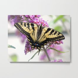 Western Tiger Swallowtail on the Neighbor's Butterfly Bush Metal Print