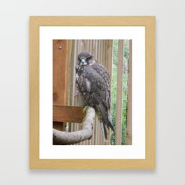 Swainson's Hawk Framed Art Print