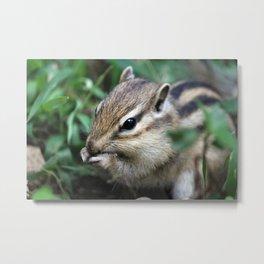 Wild Chipmunk Eating Photography Metal Print