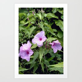 Bush Morning Glory - Ipomoea fistulosa 2 Art Print