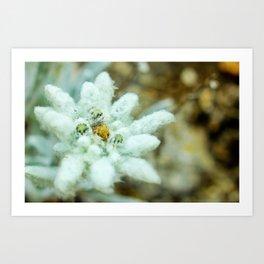 The Heart of Pirin - Leontopodium alpinum Art Print