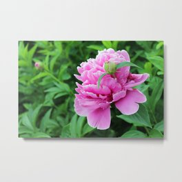 Bloomed Peony with New Bud Growing Metal Print