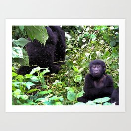 Uganda, Africa, Gorillas Art Print