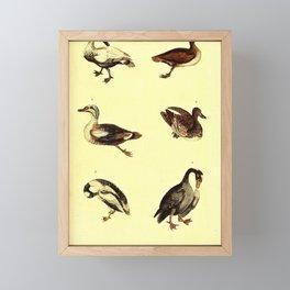 Great Black Duck Grey Headed Duck Eider Duck Ferruginous Duck Little Black And White Duck Little Brown And White Duck14 Framed Mini Art Print