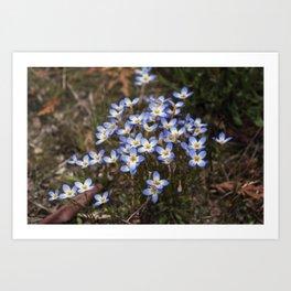 Wild Flowers Bluets Art Print