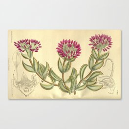 Mesembryanthemum pillansii/Erepsia pillansii, Aizoaceae Canvas Print