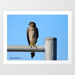Juvenile Cooper's Hawk Art Print