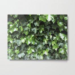 Evergreen Ivy Metal Print