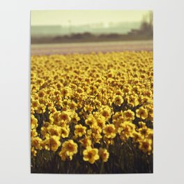 Narcissus field #2 Poster