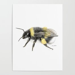 White-tailed bumblebee Poster