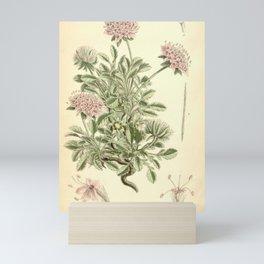 Flower 6526 scabiosa pterocephala1 Mini Art Print