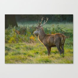 Stag In Early Sunshine Canvas Print