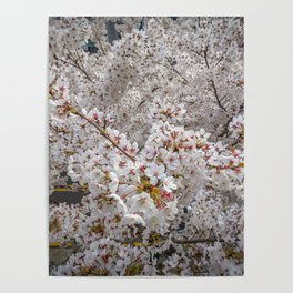 Cherry Blossoms from Above Poster