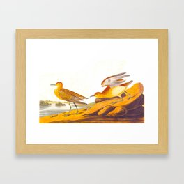 Buff-breasted Sandpiper Bird Framed Art Print