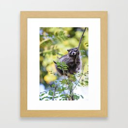 Cute racoon (lat. Procyon lotor) chilling on a tree Framed Art Print