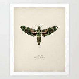 Oleander hawk-moth (daphnis nerii) illustrated by Charles Dessalines D' Orbigny (1806-1876) 2 Art Print
