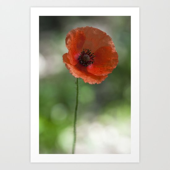 Poppy at backlight 1 Art Print