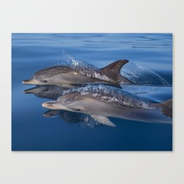 Beautiful Spotted dolphins Stenella frontalis Canvas Print