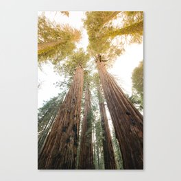 Redwood Forest Canopy Sunset Canvas Print