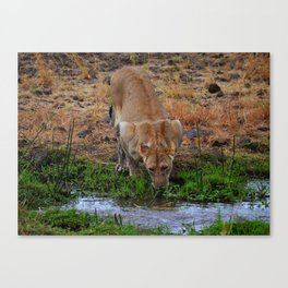 Lioness At The Waterhole Canvas Print