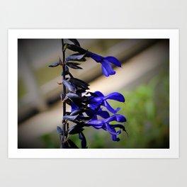 Black and Blue Salvia Art Print