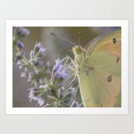 Clouded Yellow Butterfly Art Print