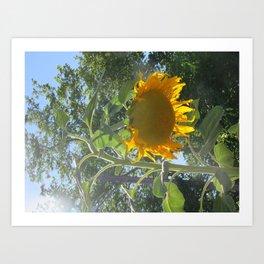 Bowing Sunflower Art Print