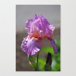 Pink Iris Delicada Canvas Print