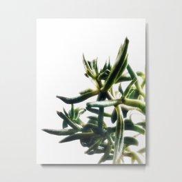 Jade - money plant - succulent in bright light Metal Print