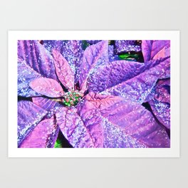 Poinsettia of Pink and Purple Art Print