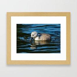 Mute Swan Cygnet Framed Art Print