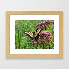 Eastern Tiger Swallowtail Butterfly Framed Art Print