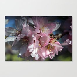 Pink Almond Flowers Canvas Print