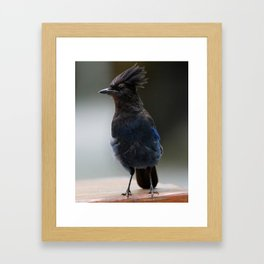 Stellers Jay | Wildlife Photography | Birds | Nature | British Columbia Framed Art Print