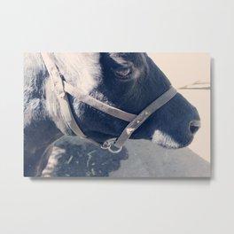 Calf Portrait II Metal Print