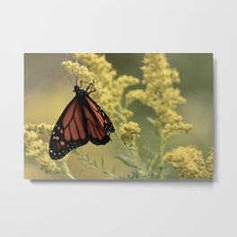 Monarchs and golden rod Metal Print