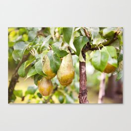Pear tree ripe fruits cluster Canvas Print