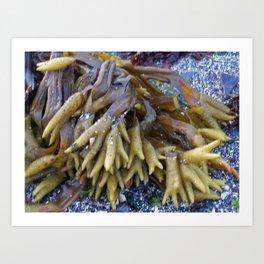 Seaweed bladders -  Bladder wrack  Art Print