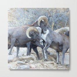 Watercolor Sheep, Bighorn Ram 19, Drake, Colorado Metal Print