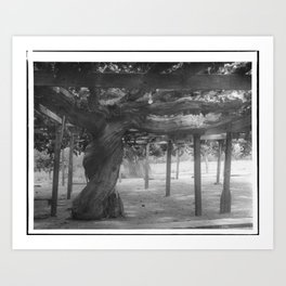 An enormous grape vine, originally planted in 1842, Montecito (or Carpenteria?), Santa Barbara, ca.1 Art Print