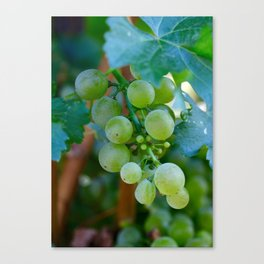 Sprig of Grapes Canvas Print
