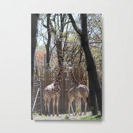 some giraffes Metal Print
