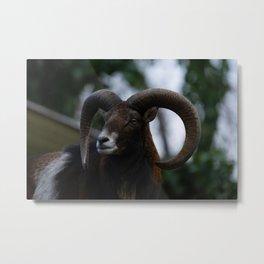 Mouflon Ram Metal Print
