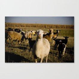 Lambs  Canvas Print