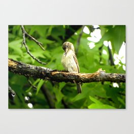 Finch: Preen Canvas Print