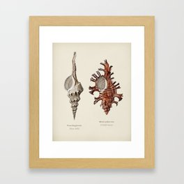 Fusus shells (Fusus longirostris) and Colorful murex (Murex palma rose) illustrated by Charles Dessa Framed Art Print