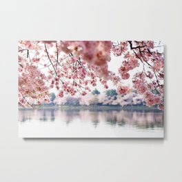 Cherry Blossoms on the Tidal Basin Metal Print