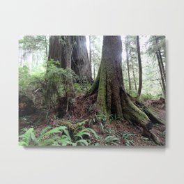 Giant Redwoods Rainforest 04 Metal Print