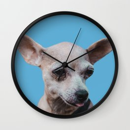 Adorable chihuahua puppy sticking out tongue on blue background Wall Clock